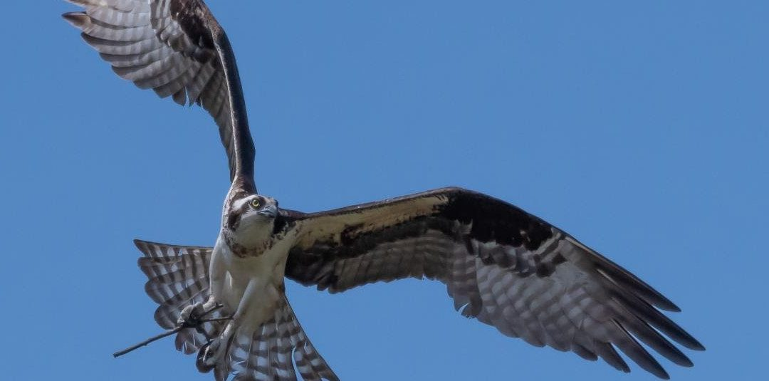 The Yearly Return of the Ospreys